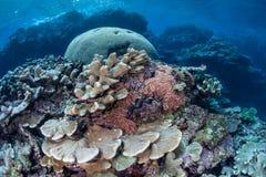 Corais que crescem no raso imagens de stock