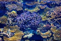Corais saudáveis em Maldivas, mar de Laccadivian Fotos de Stock