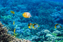 Corais subaquáticos e peixes tropicais bonitos no Oceano Índico Fotografia de Stock Royalty Free
