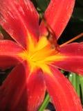 Corajoso lilly Imagem de Stock
