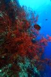 Corak reef Royalty Free Stock Photo