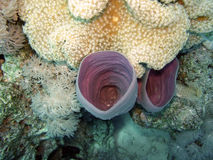 Coral. Trumpet coral from the red sea in egypt Stock Photo