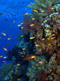 Coral. Reef in the red sea Royalty Free Stock Images