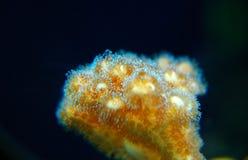 coral Imagens de Stock Royalty Free