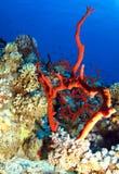 Coral Imagem de Stock Royalty Free