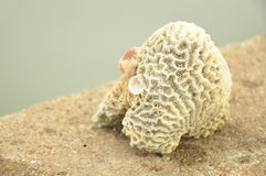 Coral. White coral from the sea Royalty Free Stock Images