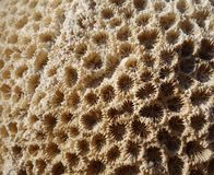 coral Foto de Stock Royalty Free