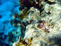 Coral 7. Fish  Red Sea Coral Wild Marine life Royalty Free Stock Photography