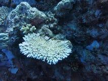 coral immagine stock