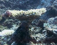 coral Imagen de archivo