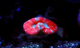 Coral aberto dobrado dos LPS de Brain Large Polyp Stony imagens de stock royalty free