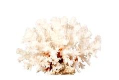 Coral aislado en el fondo blanco Fotografía de archivo libre de regalías