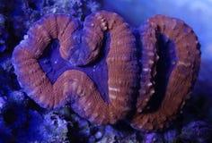 Coral alaranjado e roxo de Lobophyllia Imagem de Stock Royalty Free