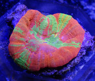 Coral alaranjado, verde, amarelo e cor-de-rosa de Scolymia Foto de Stock Royalty Free