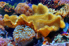 Coral Alcyoniidae Sarcophyton Royalty Free Stock Photos