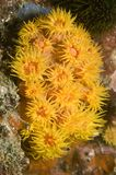 Coral amarelo do copo foto de stock royalty free