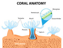 Coral Anatomy. Vector diagram. Structure coral polyp. Coral Anatomy. The coral polyps tend to live in colonies and form the building blocks of the reef Stock Photography