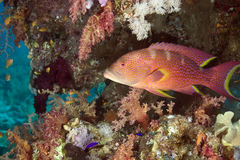 Coral And Lyretail Grouper Royalty Free Stock Photo