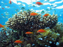 Coral and Anthias. Shot in the Red Sea Royalty Free Stock Photography