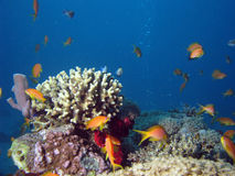 Coral and Anthias. Shot in the Red Sea royalty free stock photos