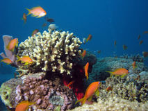 Coral and Anthias. Shot in the Red Sea royalty free stock images
