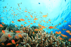 Coral and Anthias Fish Royalty Free Stock Image