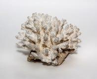 Coral Antler Royalty Free Stock Photos