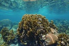 Coral aplanado del fuego con los pequeños pescados en un filón Panamá imagenes de archivo