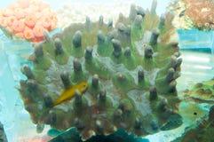 Coral in Aquarium Stock Images