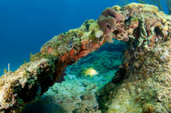 Coral Archway. With French Grunt swimming through, picture taken in Broward County Florida Stock Photo