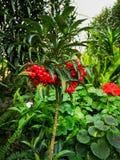 Coral ardisia or Coralberry stock photos