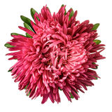 Coral aster isolated Stock Images