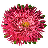 Coral aster isolated Stock Photography
