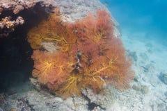 Coral atado amarelo do fã na ilha de Lipe imagens de stock royalty free