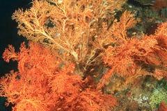 Coral atado do fã Imagem de Stock