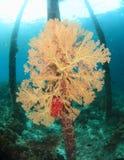 Coral atado do fã Foto de Stock