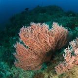 Coral atado do fã Fotografia de Stock