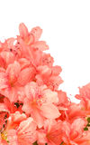 Coral Azalea blooms on white Stock Images
