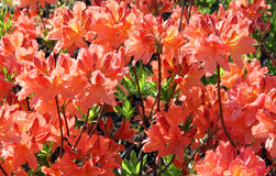 Coral azalea bushes. Japanese garden. Royalty Free Stock Photo
