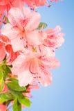 Coral azalea flower close up Royalty Free Stock Photo