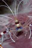 Coral Banded Shrimp Royalty Free Stock Images