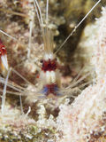 Coral Banded Shrimp Royalty Free Stock Image