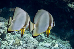 Coral and batfish Royalty Free Stock Photo