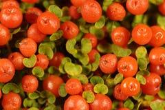 Coral bead plant Nertera granadensis Stock Photos