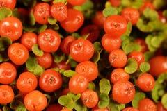 Coral bead plant Nertera granadensis. Berries of a coral bead plant Nertera granadensis Stock Photography