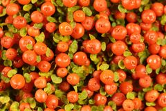 Coral bead plant Nertera granadensis. Berries of a coral bead plant Nertera granadensis Royalty Free Stock Photos