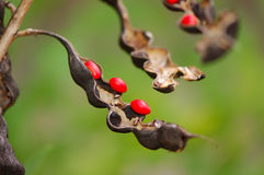 Coral Bean Plant -  Stock Photo