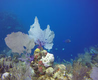 Coral Beautis i Honduras royaltyfria bilder