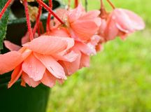 Coral begonia after the rain Royalty Free Stock Photography