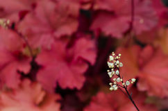 Coral bells. Details of tiny blossoms of a flowering alumroot plant stock photography